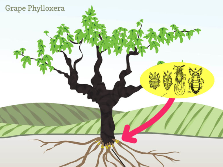 wine-phylloxera-infographic-winefolly