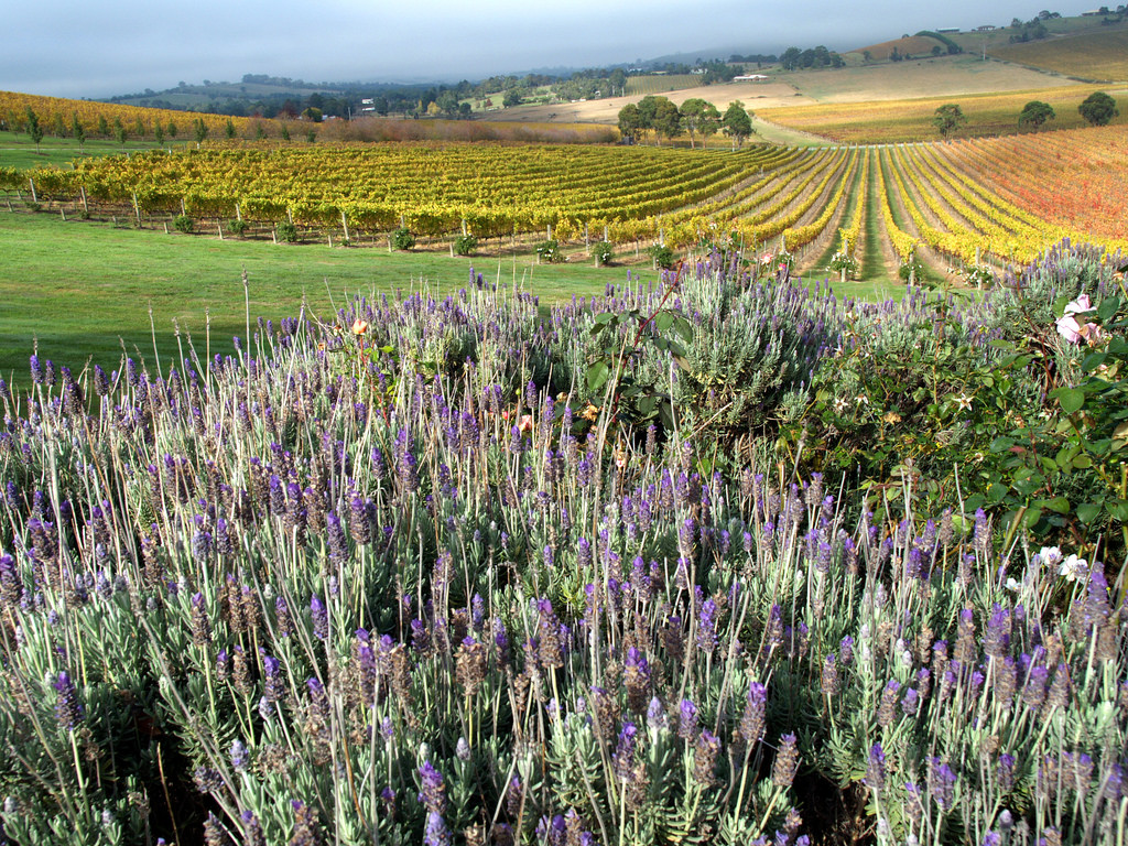 Vineyards at de Bortoli in Yarra Valley with lavender by Steve Lacy